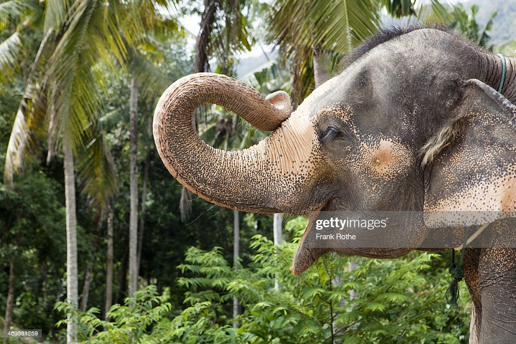 portrait of an elefant holding up his trunk : Stock Photo