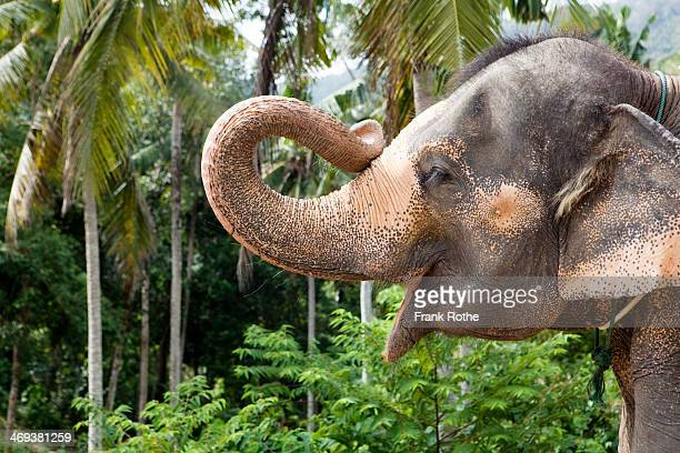 portrait of an elefant holding up his trunk - elephant head stock-fotos und bilder