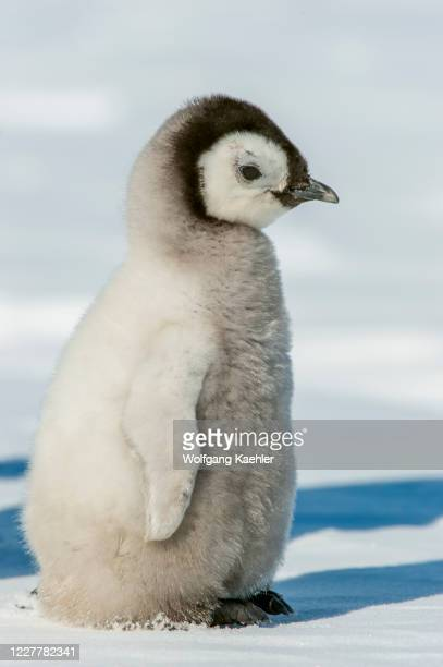 Portrait of an Emperor penguin chick at the Emperor penguin colony at Snow Hill Island in the Weddell Sea in Antarctica.