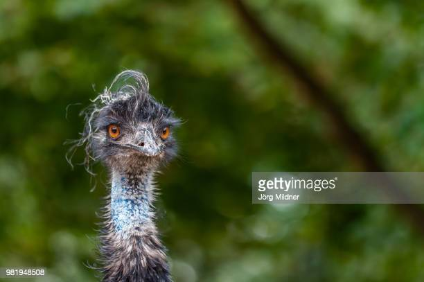 portrait of an emu. - emu stock pictures, royalty-free photos & images