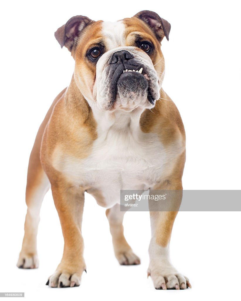 English Bulldog Stock Photos and Pictures Getty Images