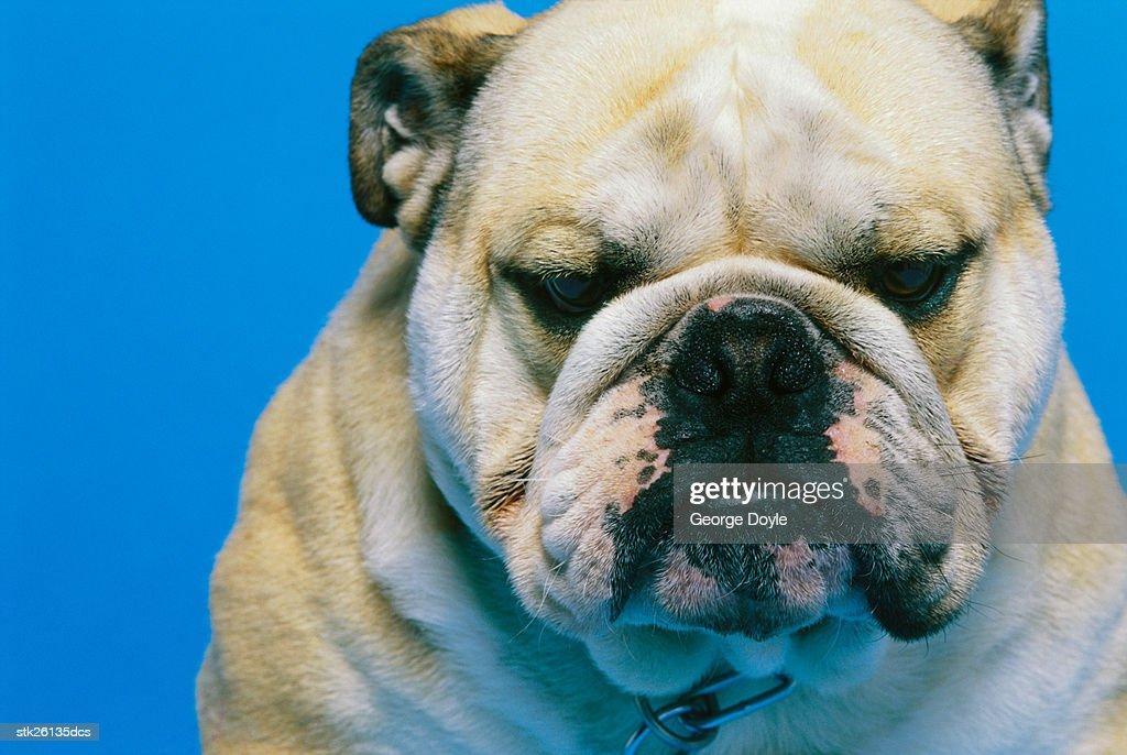 portrait of an English bulldog : Stock Photo