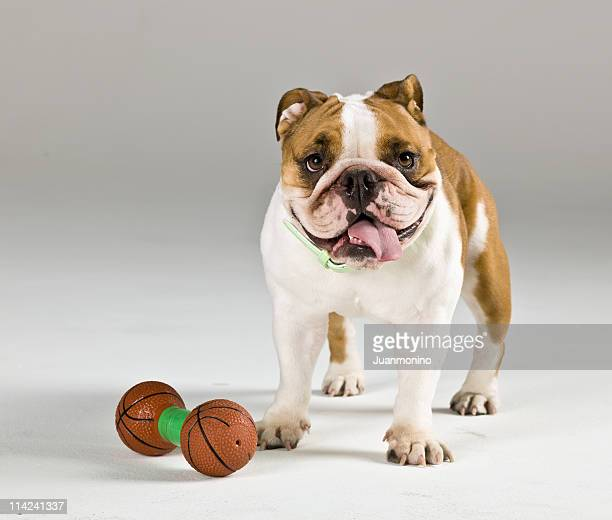 portrait of an english bulldog with a squeaky toy - ugly dog stock photos and pictures