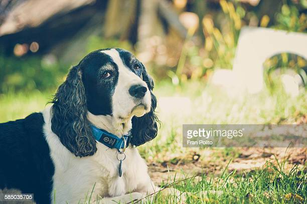 portrait of an english springer spaniel - spaniel stock photos and pictures
