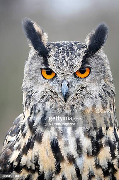 Portrait of an Eurasian EagleOwl at the Barn Owl Centre in Gloucestershire England on April 8 2013