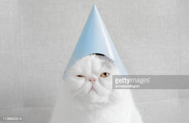 portrait of an exotic shorthair cat wearing a party hat - funny cats photos et images de collection