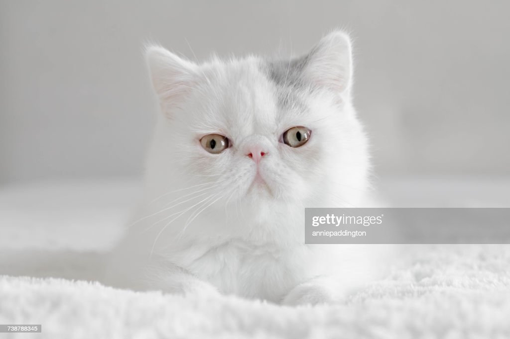 Portrait of an Exotic shorthair kitten : Stock Photo