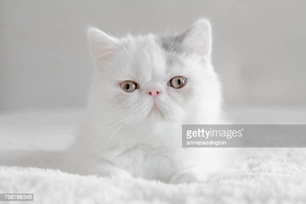 Portrait of an Exotic shorthair kitten
