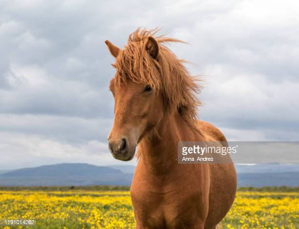 portrait of an icelandic horse in a field, iceland - one animal stock pictures, royalty-free photos & images