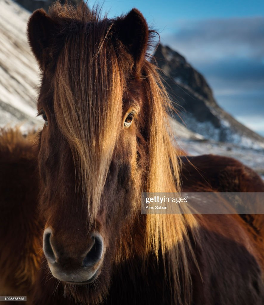 A portrait of an Icelandic horse. : Stock Photo