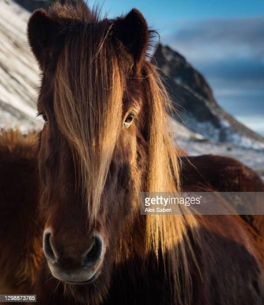 a portrait of an icelandic horse. - alex saberi stock pictures, royalty-free photos & images