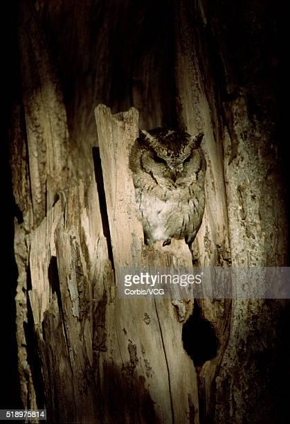 Portrait of an Indian Scops Owl, (Otus bakkamoena), nesting in a tree at night