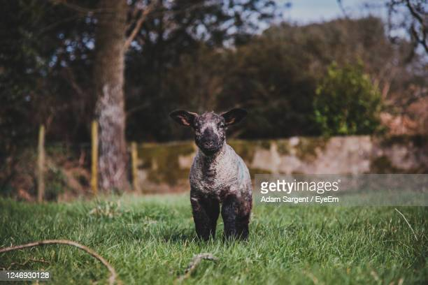 portrait of an lamb on grass - truro cornwall stock pictures, royalty-free photos & images
