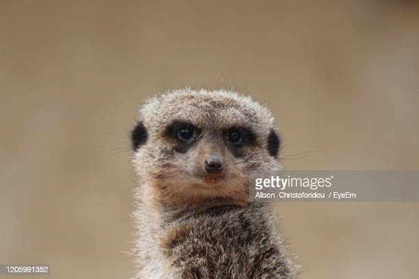 portrait of an meercat - meerkat stock pictures, royalty-free photos & images