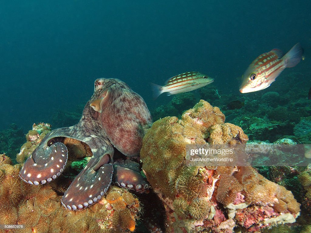 Portrait of an octopus sitting on the reef : Stock Photo