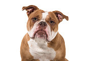 portrait an old english bulldog leaning