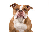 portrait an old english bulldog looking