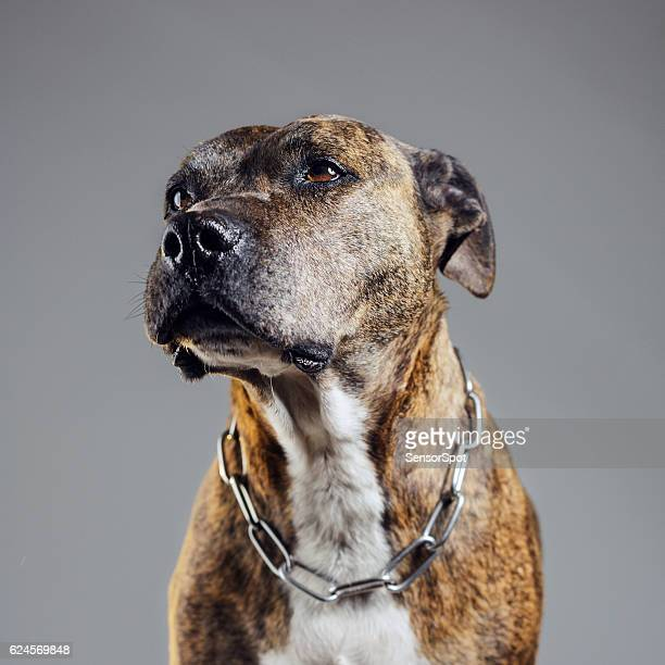 Portrait of an old pitbull dog