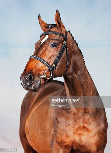 portrait of an old thoroughbred horse - racehorse stock pictures, royalty-free photos & images
