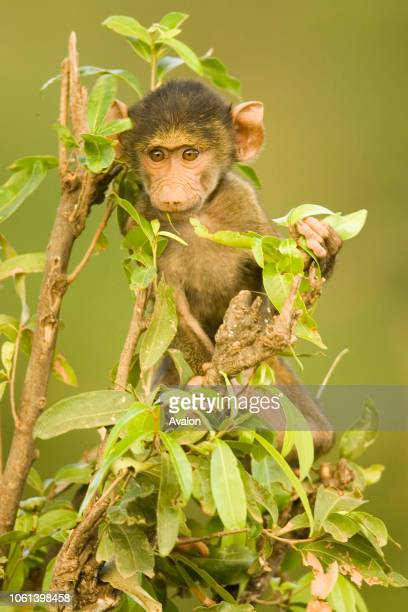 Portrait of an olive baboon baby