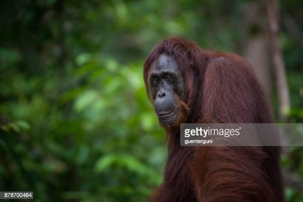 portrait of an orang utan, wildlife shot - orangutan stock pictures, royalty-free photos & images