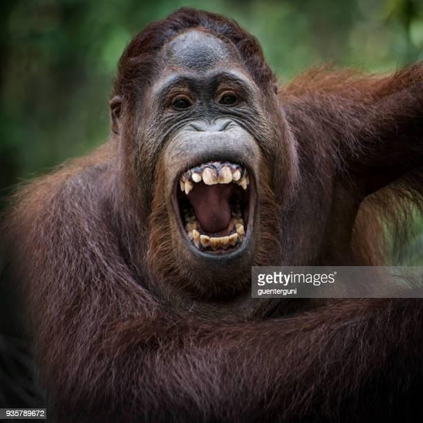 のポートレート、オラン Utan 、野生生物の写真