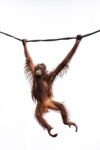 Portrait of an orangutan in a rainforest. 985962468