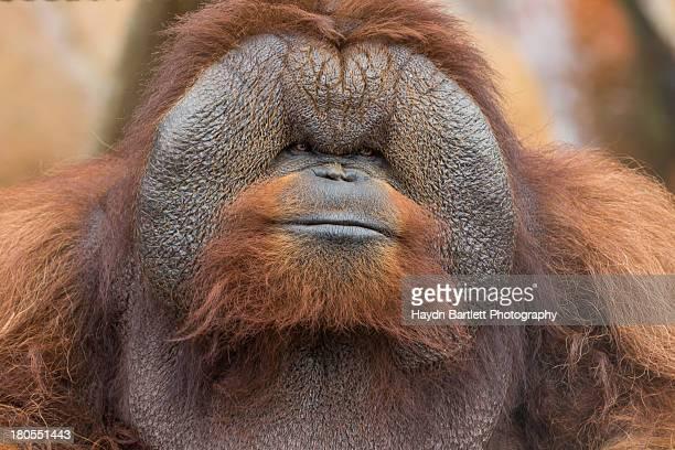 Portrait of an orangutan with an adorable smile