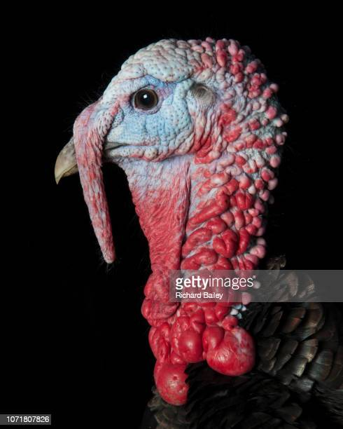 portrait of an organic free range turkey - ugly bird stock pictures, royalty-free photos & images