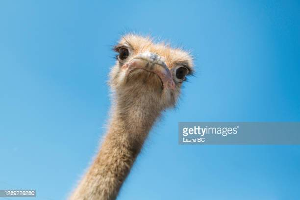 portrait of an ostrich - meme stock pictures, royalty-free photos & images