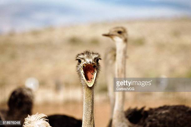 portrait of an ostrich, (struthio camelus), screaming at the camera - vcg stock pictures, royalty-free photos & images