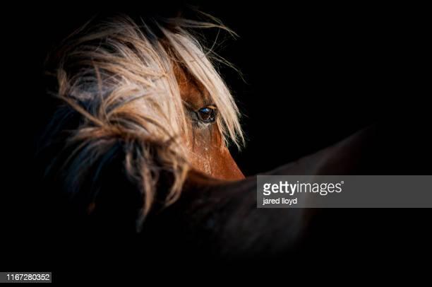portrait of an outer banks wild horse - animales salvajes fotografías e imágenes de stock