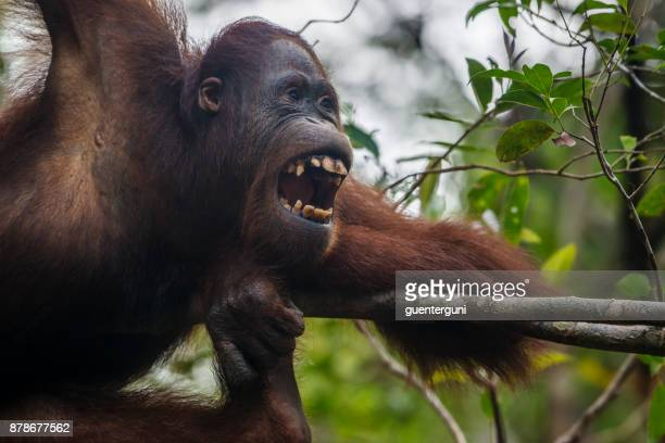 60 Top Orangutan Pictures, Photos and Images - Getty Images