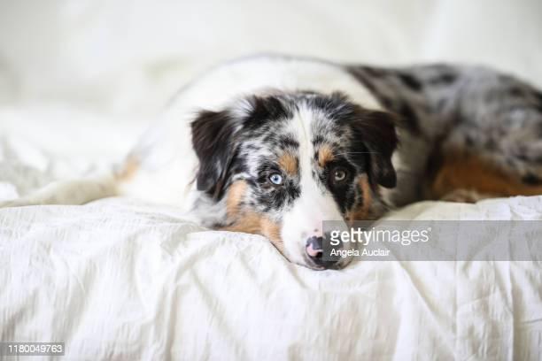 portrait of and australian shepherd dog - australische herder stockfoto's en -beelden