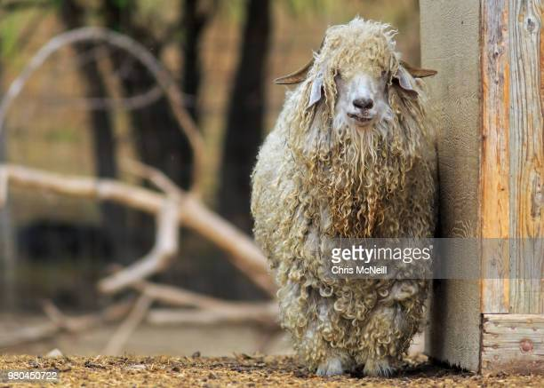 Portrait of angora goat