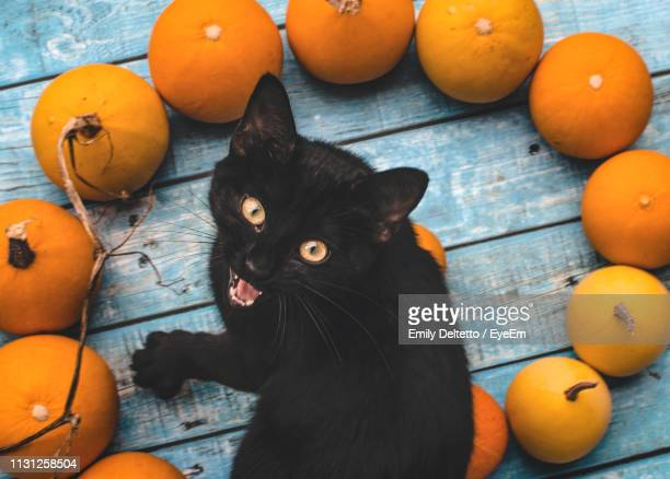 portrait of angry cat sitting by pumpkins on table during autumn - pumpkin cats stock pictures, royalty-free photos & images