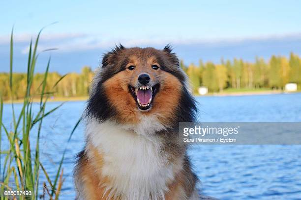 Portrait Of Angry Shetland Sheepdog Barking By Lake Against Sky