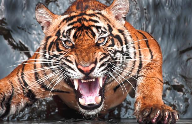 Portrait Angry Tiger Jakarta Indonesia - Fine Art prints