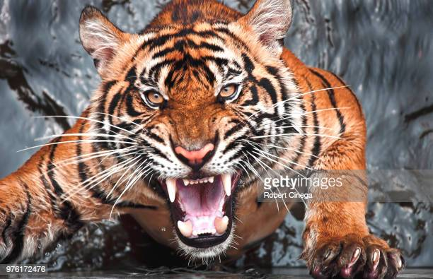 portrait of angry tiger, jakarta, indonesia - fury stock pictures, royalty-free photos & images