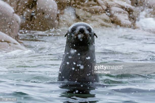 Portrait of Antarctic fur seal (arctocephalus gazella), Portal Point, Antarctica