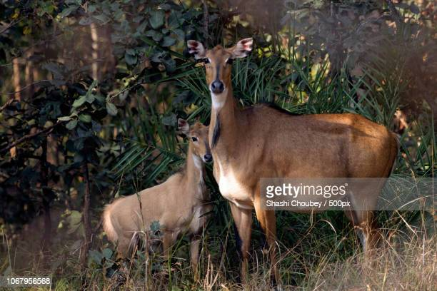 portrait of antelope nilgai with calf - nilgai stock photos and pictures