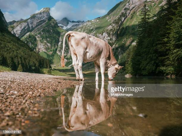 portrait of appenzeller cow and reflection on lake - swiss alps stock pictures, royalty-free photos & images