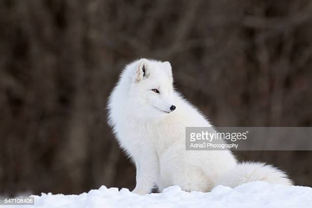 Portrait of Arctic Fox