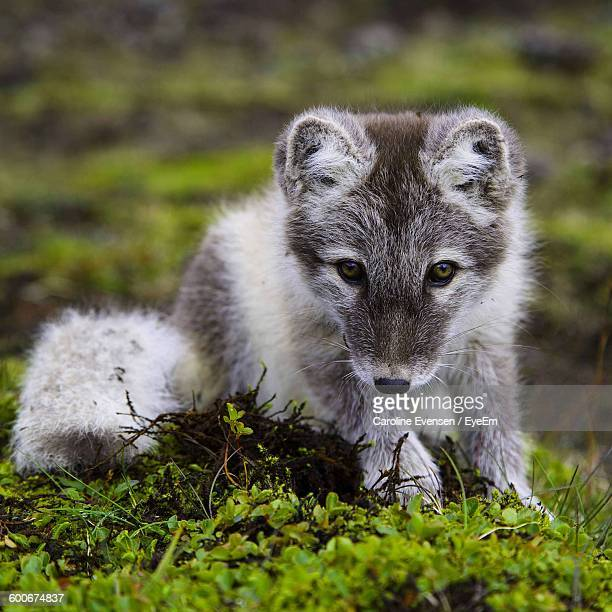 Portrait Of Arctic Fox Puppy On Field