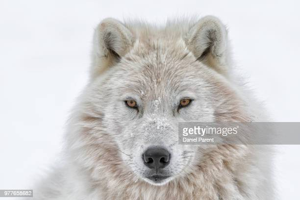 portrait of arctic wolf - arctic wolf stock photos and pictures