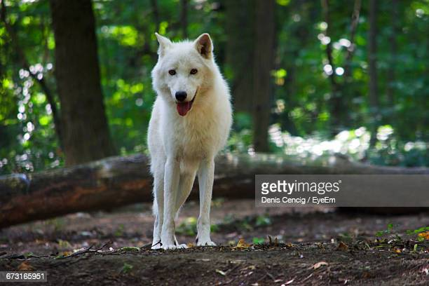 portrait of arctic wolf standing in forest - loup blanc photos et images de collection