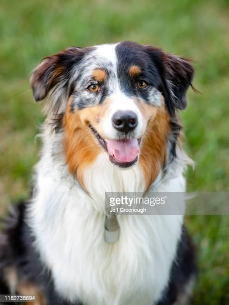 portrait of australian shepherd dog - australian shepherd dogs stock pictures, royalty-free photos & images