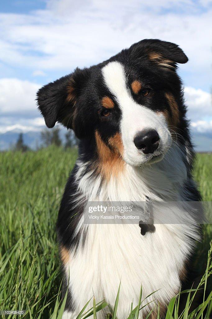 Portrait of australian shepherd puppy in grass : Stock Photo