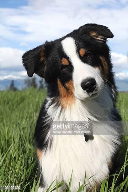 Portrait of australian shepherd puppy in grass