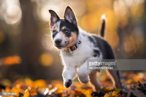 portrait of australian shepherd puppy running on autumn leaves,poland - australian shepherd puppies stock pictures, royalty-free photos & images